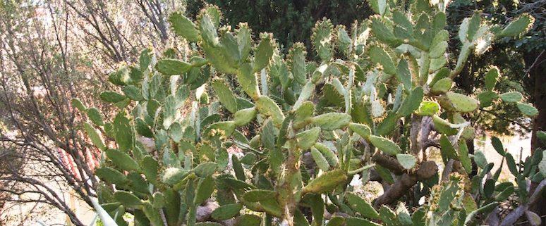 Spiky Cactus, Hvar