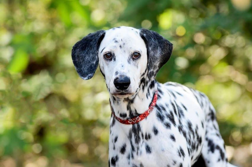 Famous Symbols of Croatia - Dalmatian Dog