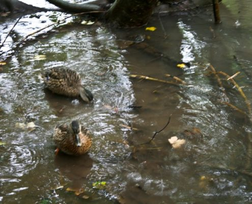 Plitvice Lakes Photos - Ducks
