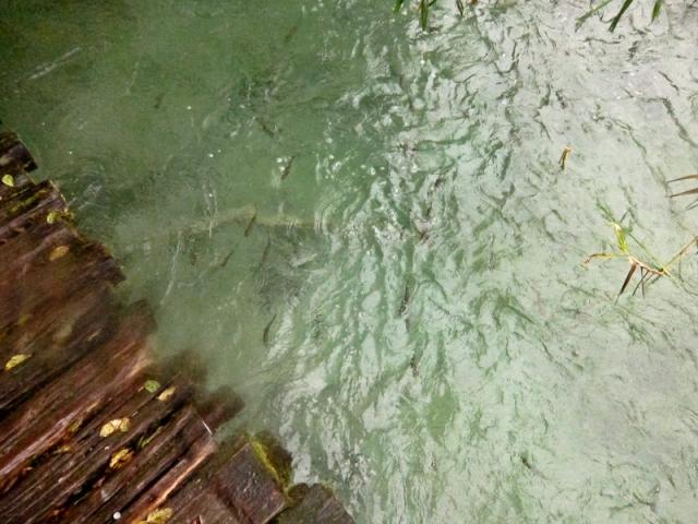 Plitvice Lakes Photos - Fish