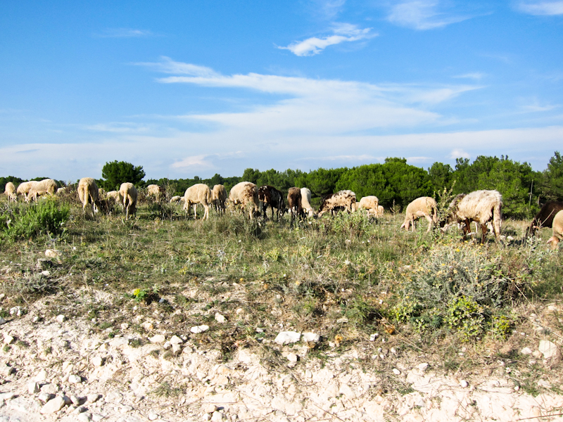 Cape Kamenjak goats