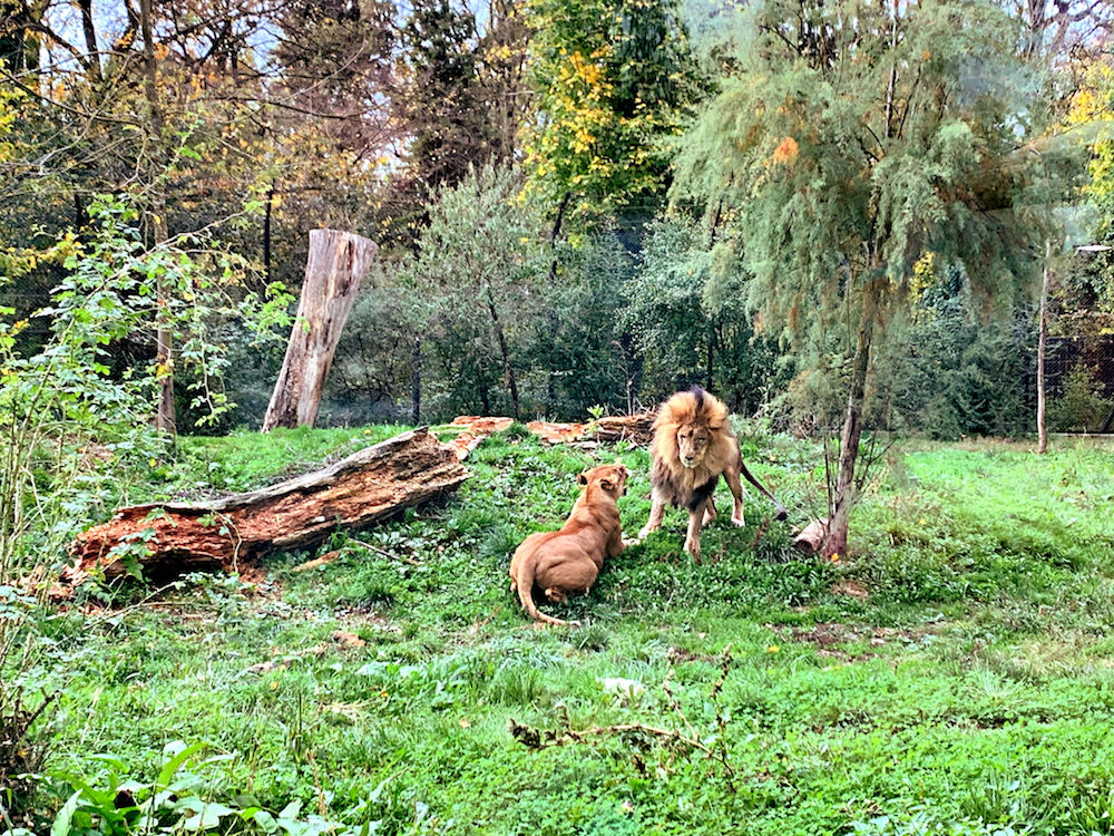 Lion and lioness in Zagreb Zoo