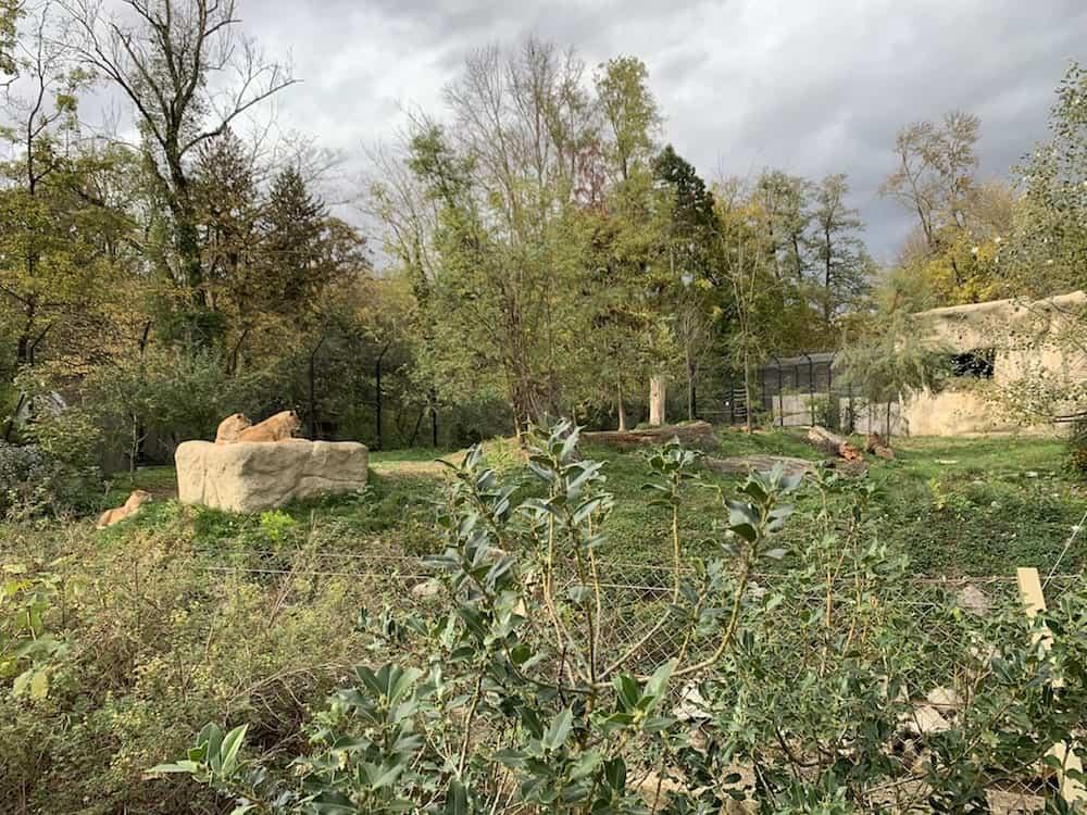 Zagreb Zoo - Lions