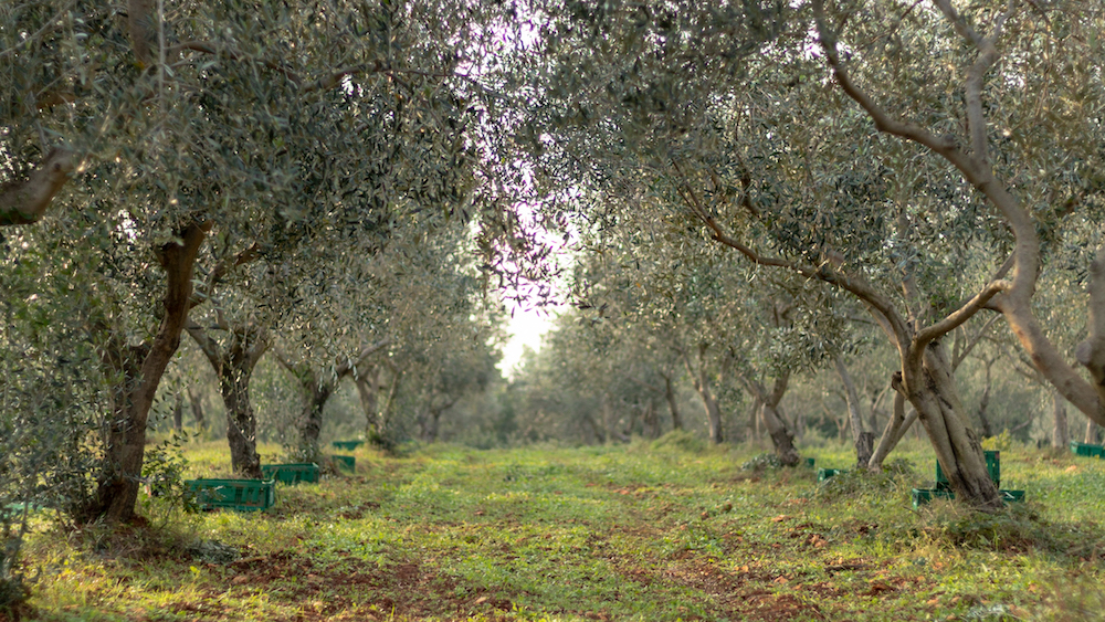 Baioco Olive Groves